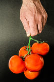 Tomato holding by hand. Twig of tomatoes holding by hand Royalty Free Stock Photos