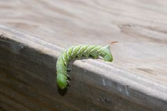 Tomato hornworm. A bright green tomato hormworm, looking very alien, hangs down over the edge of a wooden table in search for more tomato plants to munch and Royalty Free Stock Image