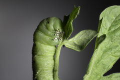 Tomato Hornworm Stock Photos