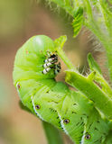 Tomato hornworm caterpillar eating plant Stock Photos