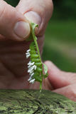 Tomato Hornworm Larvae with Wasp Pupae Parasites Stock Photography