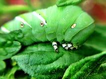 Tomato hornworm on a leaf Stock Photos