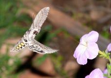 Tomato hornworm moth in flight, feeding Royalty Free Stock Photography