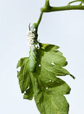 Tomato Hornworm With Parasites Stock Photo