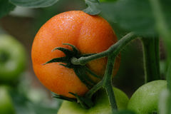 Tomato in a hothouse. Close up Royalty Free Stock Images