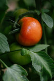 Tomato in a hothouse. Close up Stock Image