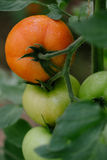 Tomato in a hothouse. Close up Royalty Free Stock Photos