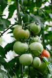 Tomato in a hothouse Royalty Free Stock Photo