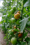 Tomato in a hothouse Royalty Free Stock Image