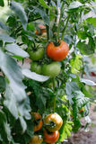 Tomato in a hothouse Royalty Free Stock Photography