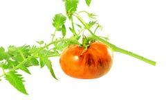 Tomato indigo rose black tomato Stock Photography
