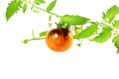 Tomato indigo rose black tomato Royalty Free Stock Photo