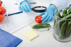 Tomato inspected in phytocontrol laboratory Stock Image