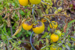 Tomato late blight. In garden Royalty Free Stock Photos