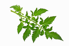 Tomato Leaf Royalty Free Stock Photos