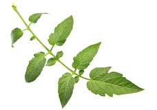Tomato leaf Royalty Free Stock Image
