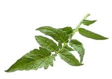 Tomato leaf closeup Royalty Free Stock Photos
