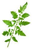 Tomato leaf closeup Stock Photo