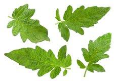 Tomato leaf closeup Stock Image