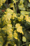 Tomato leaf Stock Image