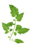 Tomato leaf Stock Images
