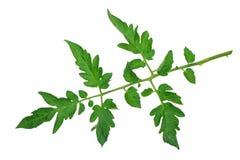 Tomato leaf Royalty Free Stock Images