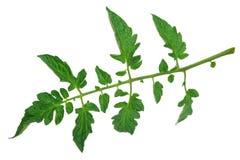 Tomato leaf Royalty Free Stock Photo