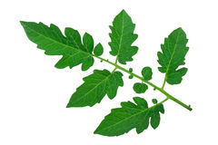 Tomato leaf Stock Photography