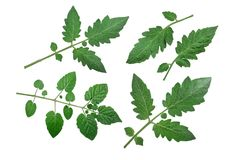 Tomato leaves, top view, paths Stock Images