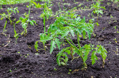 Tomato mplants on soil Royalty Free Stock Images