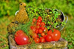 Tomato. Nature, beautiful juicy tomatoes, dill, oregano, herbs, vegetable salad, health, good nutrition, background of green grass, the figure of a dove Stock Photos