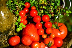 Tomato. Nature, beautiful juicy tomatoes, dill, oregano, herbs, you can make a salad vegetable, health, good nutrition, background on the green grass Royalty Free Stock Photos
