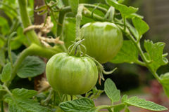 Tomato& non mûr x27 ; s dans le jardin Images libres de droits