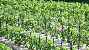 Tomato in nursery garden, Da Lat city, Lam Dong province, Vietnam stock video