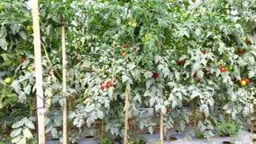 Tomato in nursery garden, Da Lat city, Lam Dong province, Vietnam Stock Photography