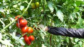 Tomato in nursery garden, Don Duong district, Lam province, Vietnam stock footage