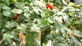 Tomato in nursery garden, Don Duong district, Lam province, Vietnam stock video footage