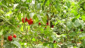 Tomato in nursery garden, Don Duong district, Lam province, Vietnam stock video