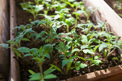 Tomato organic seedlings Royalty Free Stock Photo