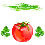 Tomato and parsley watercolor vetor illustration isolated on white background, Template for menu, product design Stock Images