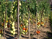 Tomato patch royalty free stock images