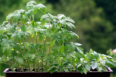 Tomato and pepper plants. Young pepper and tomato plant Royalty Free Stock Images