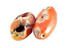 Tomato pest. On a white background Royalty Free Stock Photo