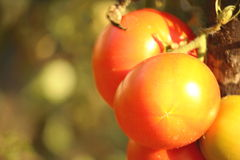 Tomato. Photographed in the garden at the stage of maturity royalty free stock photo