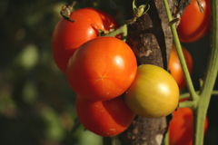 Tomato. Photographed in the garden at the stage of maturity Royalty Free Stock Photos