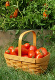 Tomato picking. Basket of freshly picked tomatoes next to the garden royalty free stock photography