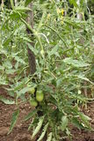 Tomato plant. With green tomatoes Royalty Free Stock Photography