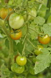 Tomato plant. Tomatoes ripening on leafy green plant Royalty Free Stock Photo