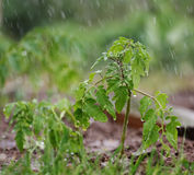 Tomato plant. Young tomato plant in garden.Watering stock image