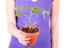 Tomato Plant Stock Photography